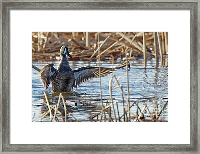 Blue Winged Teal 4 Framed Print by Natural Focal Point Photography