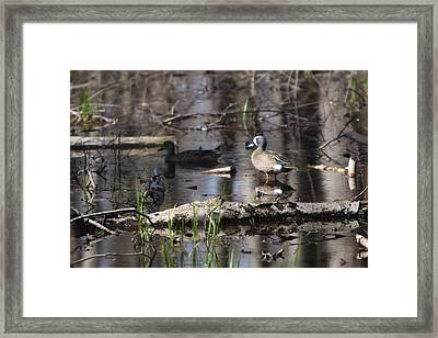 Blue Winged Teals Framed Print by Dave Clark