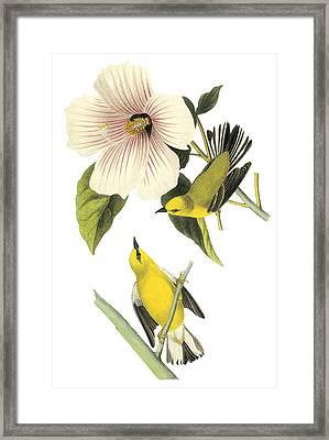 Blue-winged Warbler Framed Print by John James Audubon