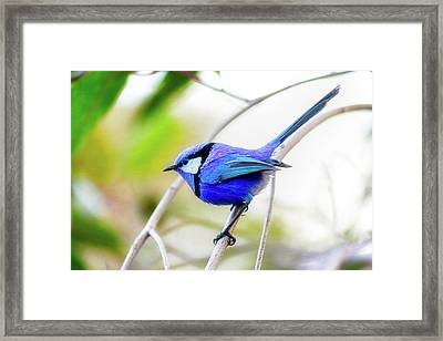 Framed Print featuring the photograph Blue Wren, Margaret River by Dave Catley