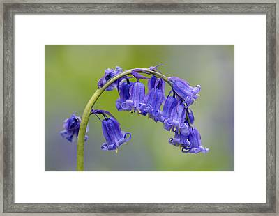 Bluebell Framed Print by Liz Pinchen