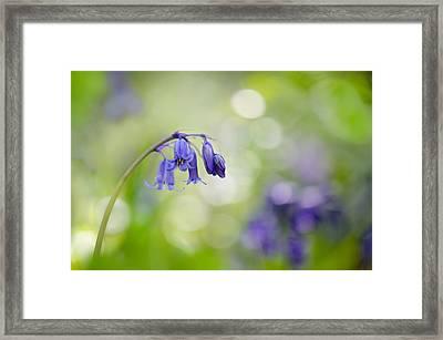Bluebell Beauty Framed Print