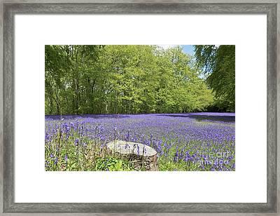 Bluebell Carpet Framed Print by Terri Waters