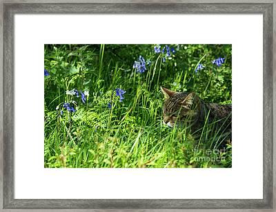 Bluebell Feline  Framed Print by Rob Hawkins