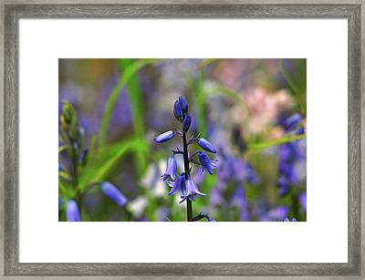Bluebell Framed Print by Martina Fagan