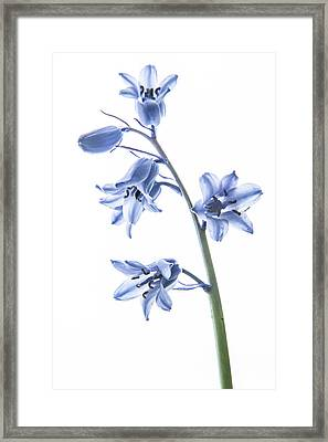 Bluebell Stem Framed Print