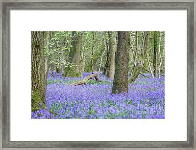 Bluebell Wood - Hyacinthoides Non-scripta - Surrey , England Framed Print