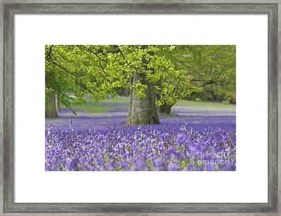Bluebell Wood Framed Print by Terri Waters