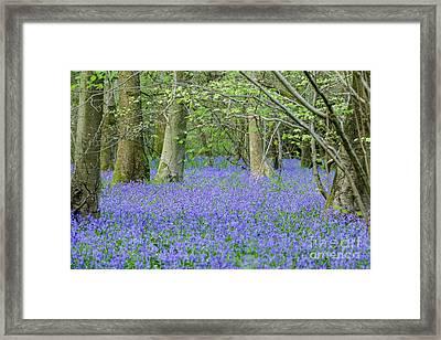 Bluebell Woodland Hyacinthoides Non-scripta, Surrey , England Framed Print