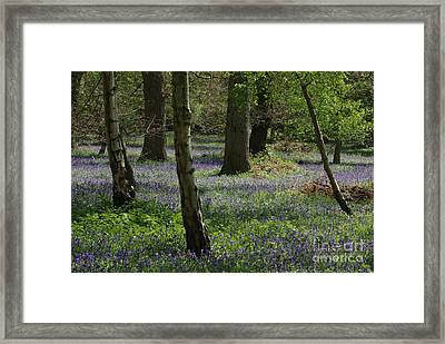 Bluebell Woods Framed Print by Catja Pafort