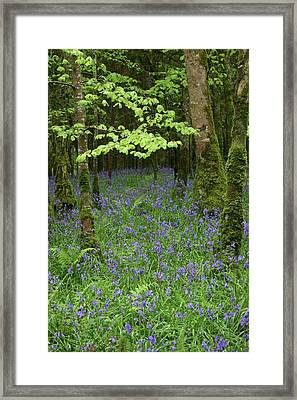 Bluebell Woods Framed Print by Martina Fagan