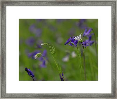 Bluebells And Stitchwort  Framed Print