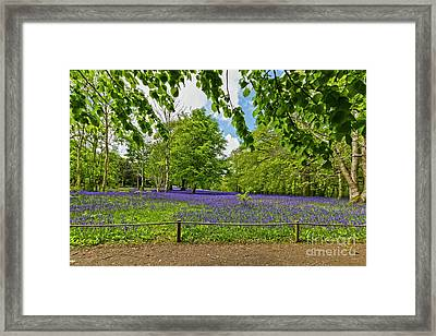 Bluebells At Enys Framed Print by Terri Waters