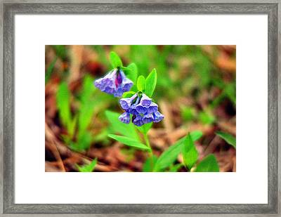 Bluebells Framed Print by C E McConnell