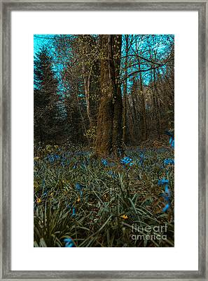 Bluebells In Lismore Forest 2 Framed Print