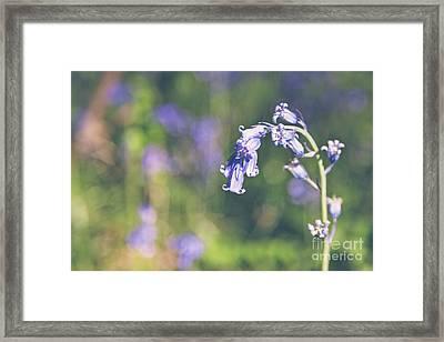 Bluebells - Natalie Kinnear Photography Framed Print