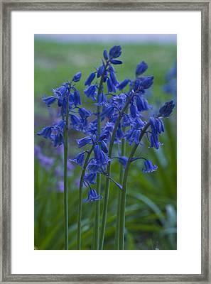 Bluebells Framed Print by Rob Hemphill