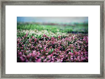 Framed Print featuring the photograph Blueberry Blossoms  by Alana Ranney