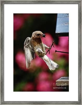 Framed Print featuring the photograph Bluebird 0726162 by Douglas Stucky