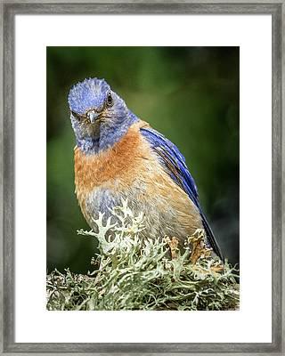 Bluebird Attitude Framed Print