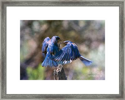 Bluebird Battle Framed Print by Mike Dawson