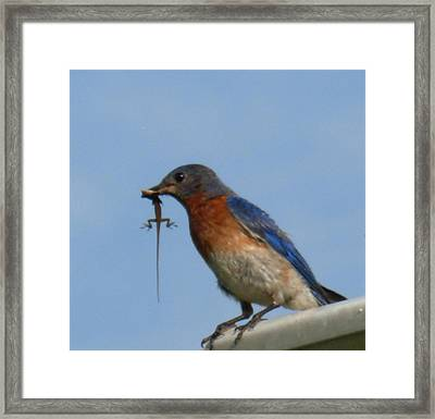 Framed Print featuring the photograph Bluebird Bringing Home Lunch by Jeanne Kay Juhos