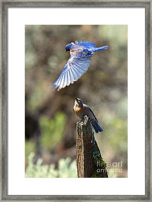 Bluebird Buzz Framed Print by Mike Dawson