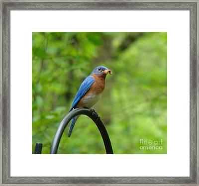 Bluebird Catches Worm Framed Print by Rand Herron