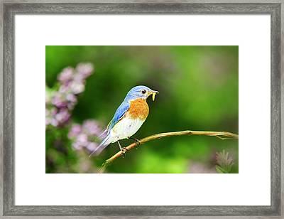 Bluebird Framed Print by Christina Rollo