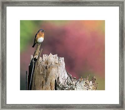 Bluebird Fall Perch Framed Print