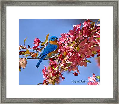Bluebird In Apple Blossoms Framed Print by Marie Hicks