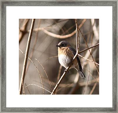 Bluebird In Beige Framed Print