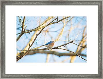 Bluebird In Tree Framed Print