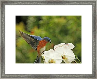 Bluebird Landing On Orchid Framed Print