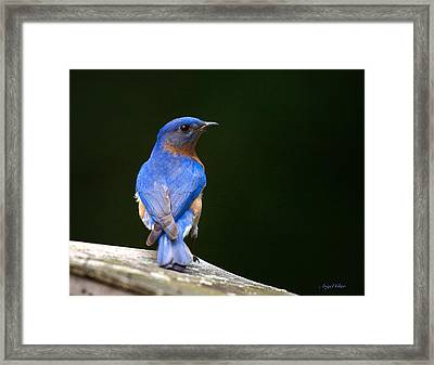 Framed Print featuring the photograph Bluebird Male by Angel Cher
