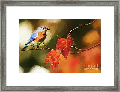 Bluebird Of Autumn Framed Print by Darren Fisher
