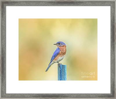 Framed Print featuring the photograph Bluebird On Blue Stick by Robert Frederick