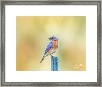 Bluebird On Blue Stick Framed Print by Robert Frederick