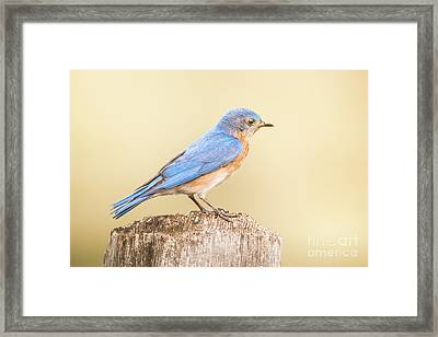 Bluebird On Fence Post Framed Print by Robert Frederick