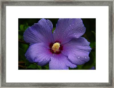 Bluebird Rose Of Sharon Framed Print