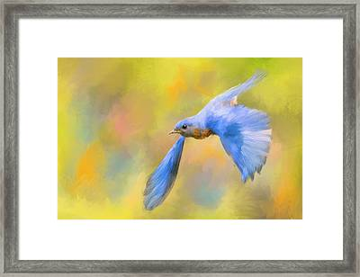 Bluebird Spring Flight Framed Print by Jai Johnson
