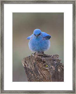 Bluebird With An Attitude Framed Print