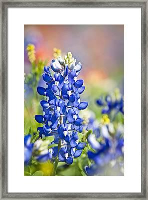 Bluebonnet 1 Framed Print