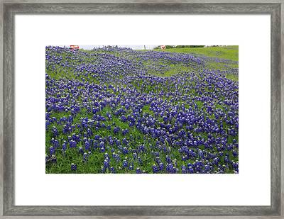 Bluebonnet Field Framed Print by Robyn Stacey