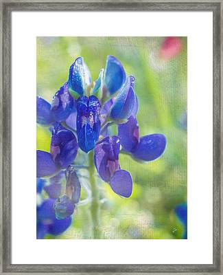 Bluebonnet Of Texas Framed Print