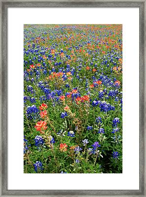 Bluebonnets And Paintbrushes 3 - Texas Framed Print