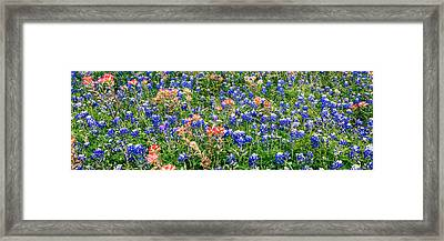 Bluebonnets And Paintbrushes Panorama - Texas Framed Print by Brian Harig