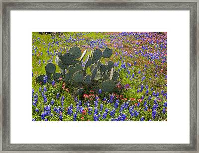 Bluebonnets Paintbrush And A Prickly Pear - Texas Hill Country Framed Print