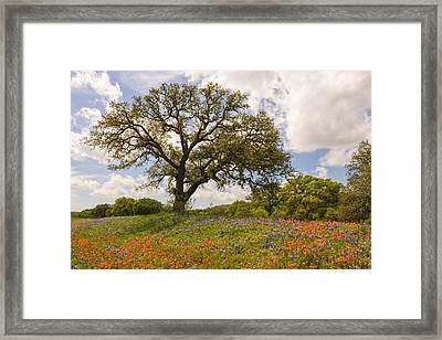 Bluebonnets Paintbrush And An Old Oak Tree - Texas Hill Country Framed Print
