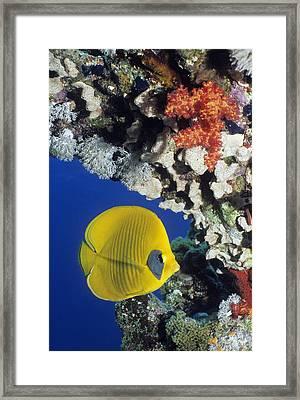 Bluecheek Butterflyfish Framed Print by Georgette Douwma